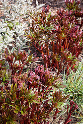 The foliage of Paeonia 'Coral Charm' with Brachyglottis Walberton's Silver Dormouse syn. 'Walbrach' and Carex oshimensis Everest syn. 'Fiwhite'