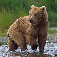 USA, Alaska, Katmai. Grizzly bear walking in river.