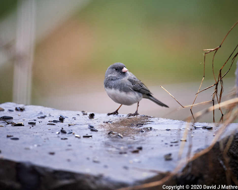 Dark-eyed Junco looking for food on a rainy morning. Image taken with a Nikon D5 camera and 600 mm f/4 VR lens (ISO 1600, 600 mm, f/4, 1/320 sec).
