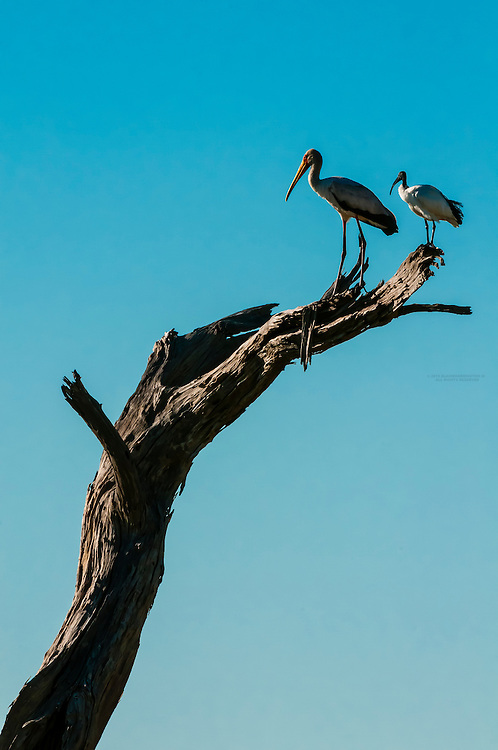 Yellow Billed Stork and Sacred Ibis standing on branch, Kwando Concession, Linyanti Marshes, Botswana. Kwando Concession, Linyanti Marshes, Botswana.