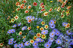 Aster x frikartii 'Monch' AGM with Coreopsis 'Red Shift' Big Bang series
