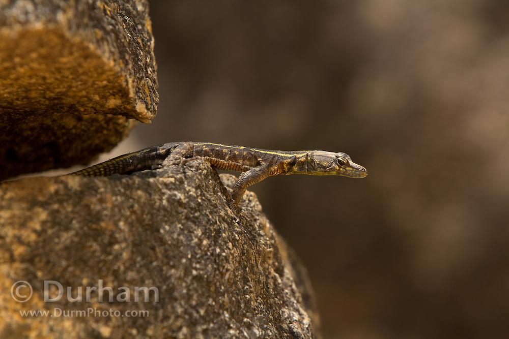 A juvenile common flat lizard (Platysaurus intermedius) in Matobo National Park, part of the Motopos Hiils area in Zimbabwe. The park is an U.N. UNESCO World Hertiage Site. © Michael Durham / www.DurmPhoto.com
