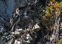 Peregrine Falcon, Falco peregrinus, yawns as it perches on a rocky cliff overlooking the Pacific Ocean near Bodega Bay, California