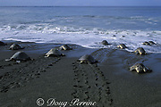 female olive ridley sea turtles, Lepidochelys olivacea, come and go from nesting beach during arribada ( mass nesting ) leaving distinctive tractor-like tracks in the sand, Ostional, Costa Rica ( Eastern Pacific Ocean )