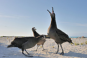 Three black footed albatross do a courtship dance kicking up sand and calling out.