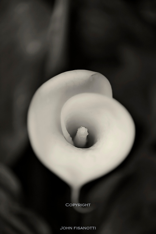 A Black and White Image of a Calla Lilly