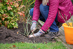 Planting bare root roses in autumn making sure the crown is below soil level