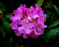 Rhododendron flowers. Image taken with a Fuji X-H1 camera and 200 mm f/2 lens + 1.4x teleconverter (ISO 200, 280 mm, f/2.8, 1/450 sec).