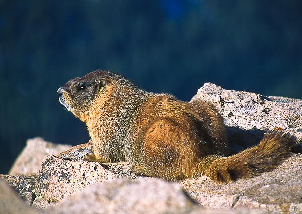 Yellow-bellied Marmot (Manota flaviventris) thrives on the alpine tundra.  Rocky Mountain National Park, Colorado.