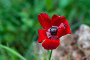 A wilting Red Anemone coronaria flower