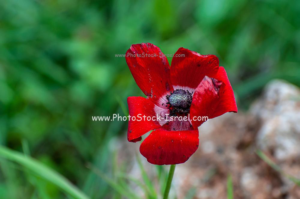 A wilting Red Anemone coronaria flower
