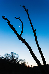 Moon and dead tree at dusk, Hill Country between Blanco and Fredericksburg, Texas, USA