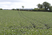 poptato,spud, crop, harvest, arable, farming, field, root, vegtable,