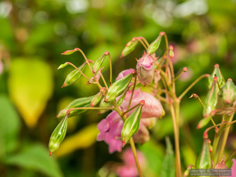 Himalayan Balsam is a fast-growing and invasive non-native species smothers other plants along river banks and streams.