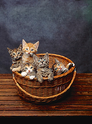 Cats 5 Kittens In A Basket