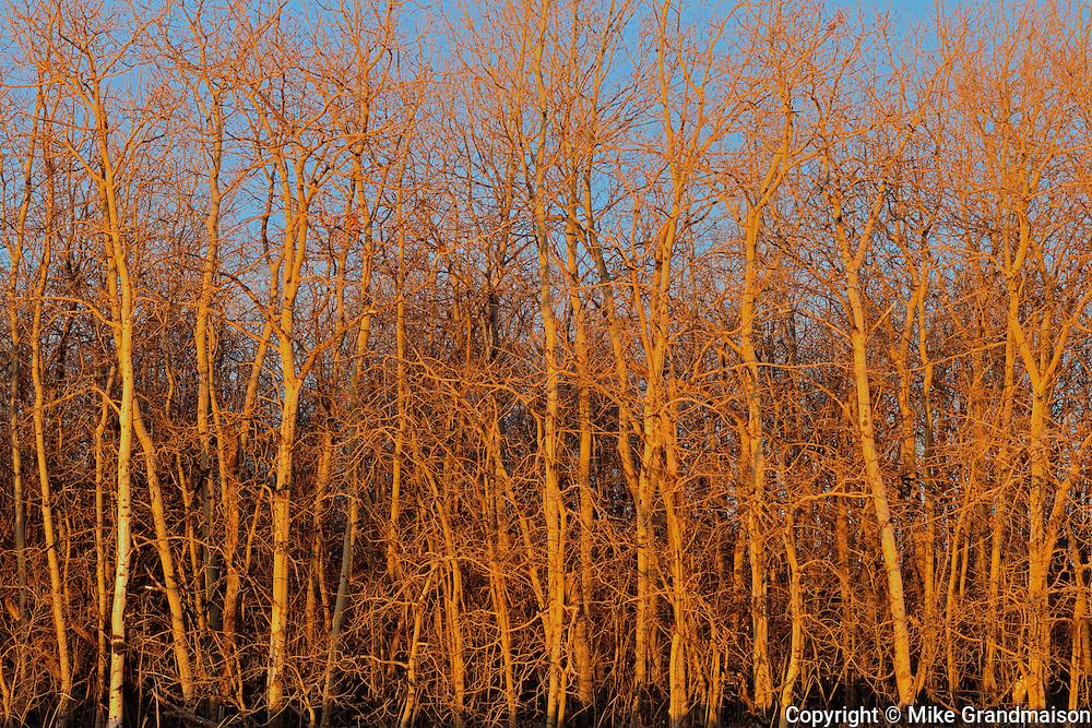 Trembling aspen (white poplar) trees at sunrise<br /> Dugald<br /> Manitoba<br /> Canada
