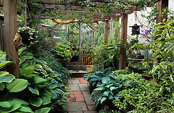 Pergola over a side passage with hostas, acers, ferns and bamboos in pots. Small bonzai display. Greenhouse beyond
