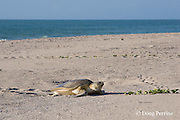Australian flatback sea turtle, Natator depressus, female crawls up beach to nest in dunes at top of beach, Crab Island, off Cape York Peninsula, Torres Straits, Queensland, Australia