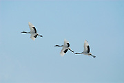 Red Crowned Crane, Grus japonensis, group in flight, flying, Hokkaido Island, japanese, Asian, cranes, tancho, crested, white, black,  wilderness, wild, untamed, photography, ornithology, snow, graceful, majestic,
