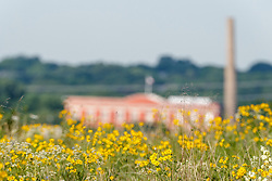 Daisies and old power station, Blackland Prairie remnant, White Rock Lake, Dallas,Texas, USA
