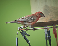 House Finch. Image taken with a Nikon D5 camera and 600 mm f/4 VR telephoto lens (ISO 400, 600 mm, f/5.6, 1/1250 sec).