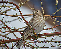 Immature Red Crossbill? or Female House Finch? Image taken with a Nikon D2xs camera and 80-400 mm VR lens (ISO 100, 400 mm, f/10, 1/400 sec).