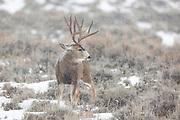 Mule deer buck in snowstorn in Wyoming Mule deer buck