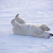 Polar Bear, (Ursus maritimus) Playing with hat. Churchill, Manitoba. Canada.