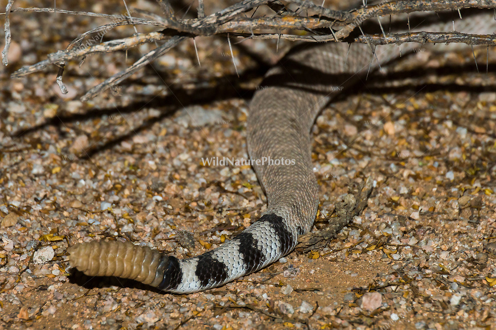 The banded tail and rattle of a mature Western Diamondback rattlesnake (Crotalus atrox) are visible as the snake disappears into vegetation (Arizona)