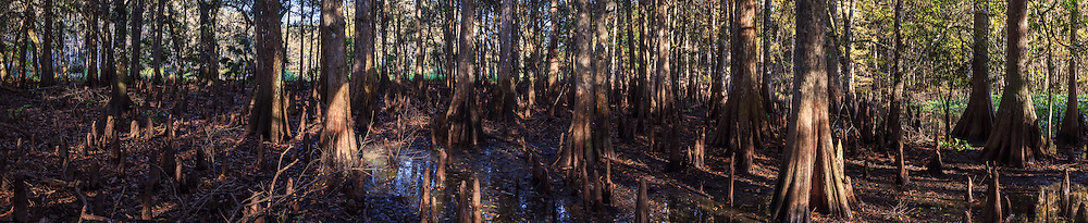 Panoramic view of the interior of a cypress grove on an island in Florida's Fisheating Creek, in the Fisheating Creek Wildlife Management Area (WMA).<br /> WATERMARKS WILL NOT APPEAR ON PRINTS OR LICENSED IMAGES.