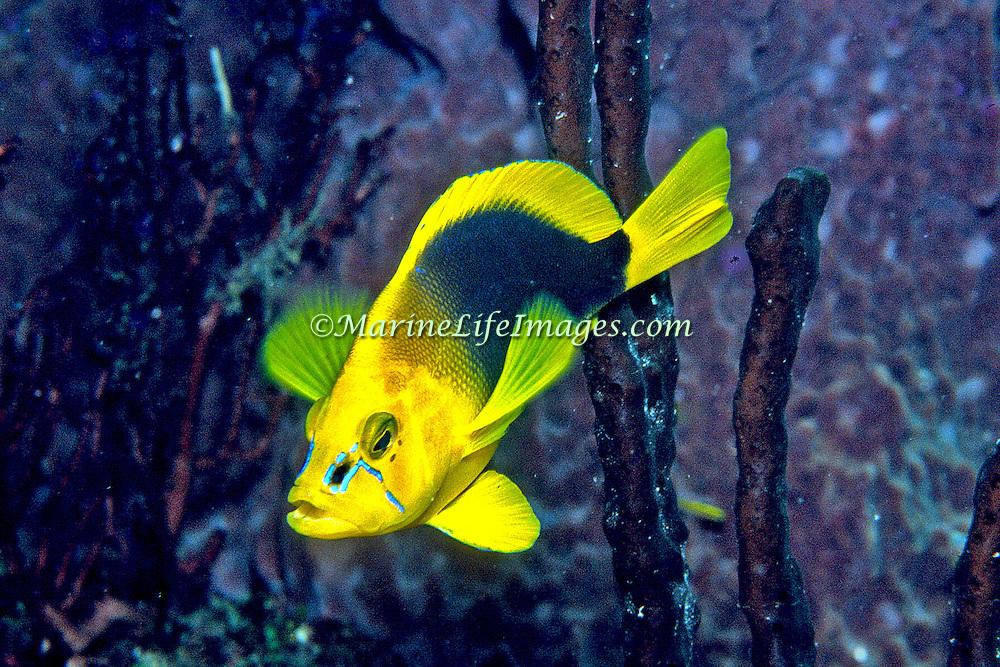 Shy Hamlet inhabit reefs in Tropical West Atlantic; picture taken Belize.