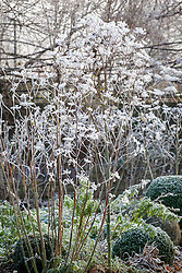Frosted fennel seedheads in winter. Foeniculum vulgare