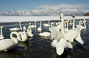 Whooper swan, Cygnus cygnus, group in water, lake Kussharo-ko, Hokkaido Island, Japan, japanese, Asian, wilderness, wild, untamed, ornithology, snow, graceful, majestic, aquatic.