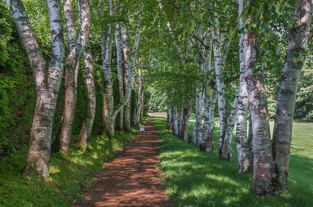 Path through birch alleyway in summer, Cornish, NH