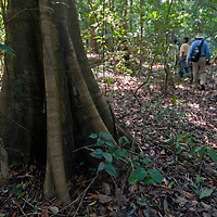 Adventure travelers to Peru's Amazon Jungle hike past a tree that has grown multiple above-ground roots in order to stabilize & anchor itself in the shallow soil.