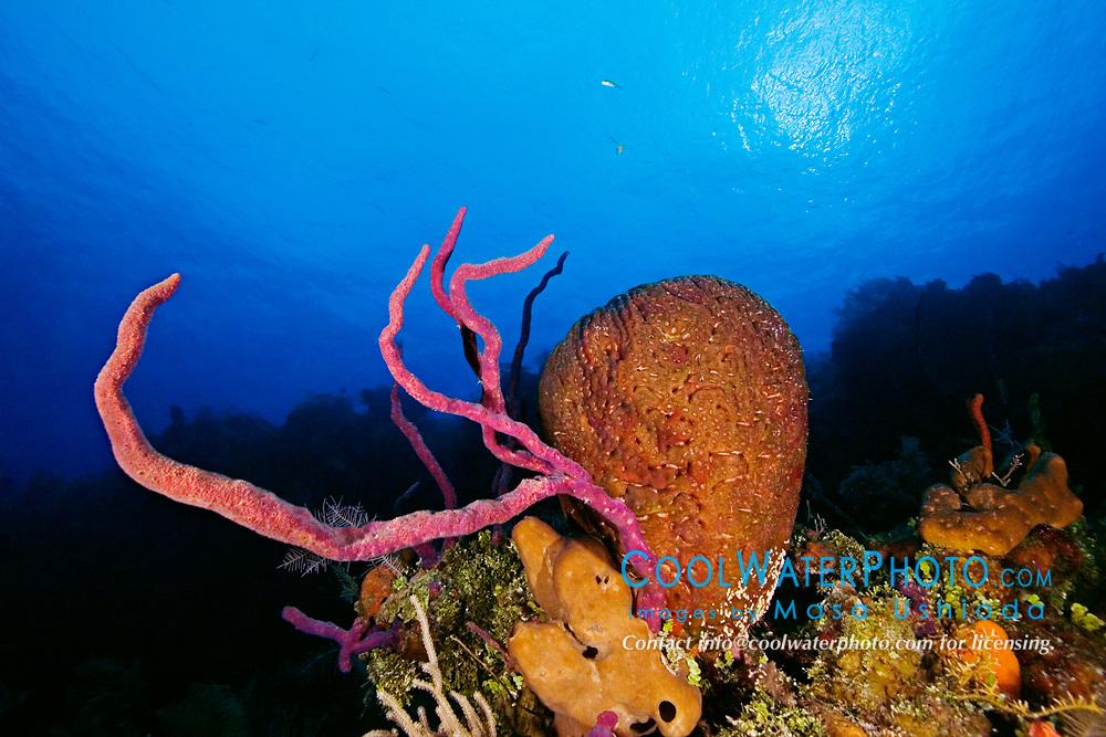 Row Pore Rope Sponge, Aplysina cauliformis, Leathery Barrel Sponge, Geodia neptuni, and Brown Tube Sponge, Agelas conifera, Family: Demospongiae, West End, Grand Bahamas, Caribbean, Atlantic Ocean