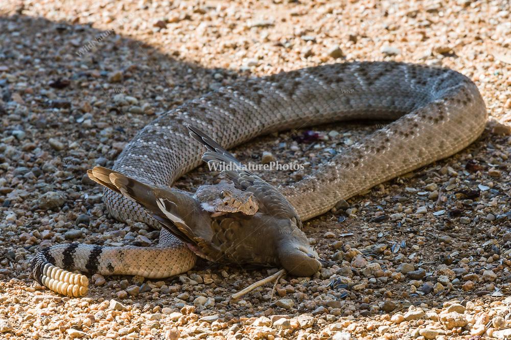 A Western Diamondback rattlesnake (Crotalus atrox) starting to swallow a Morning Dove (Zenaida macroura) that it caught. (Arizona)