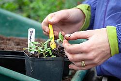 Pricking out tomato seedlings