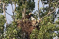 Kaiseradler am Nest, Aquila heliaca, Ost-Slowakei / Eastern Imperial Eagle at nest, Aquila heliaca, East Slovakia
