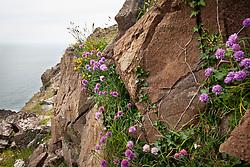 Wild Chives growing on cliffs near the Lizard Peninsula, Cornwall. Allium schoenoprasum
