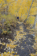 Man hiking on trail along Convict Lake surrounded by autumn quaking aspen (Populus tremuloides) and black cottonwood (Populus trichocarpa), fall, Inyo National Forest, California