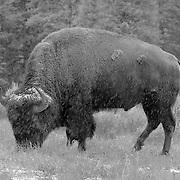 Yellowstone National Park, WY (B/W)