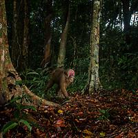 Wild Stump-tailed macaque, Macaca arctoides. Kaeng Krachan National Park, Thailand,