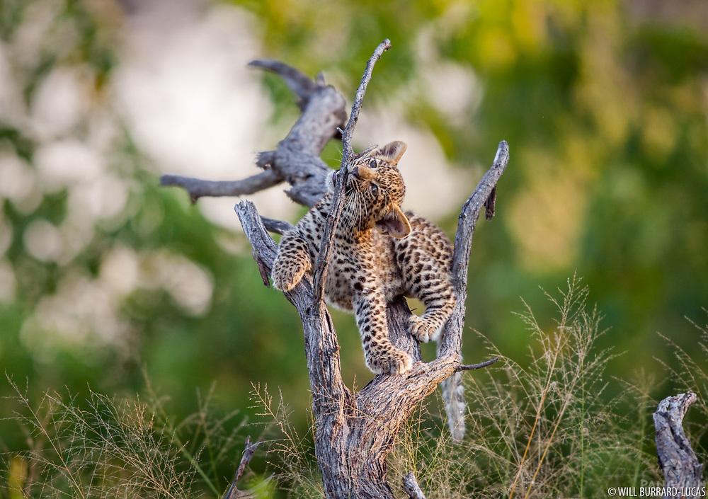 Playing in a fallen tree. Okavango Delta