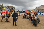 TURKEY, Izmir, Selçuk. Competing camels are paraded around the wrestling arena, before fans and the media at the 35th annual Selçuk Camel Wrestling Festival.