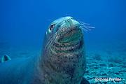 Hawaiian monk seal, Monachus schauinslandi, male ( critically endangered species ), Lehua Rock, near Niihau, off Kauai, Hawaiian Islands, USA ( Central Pacific Ocean )