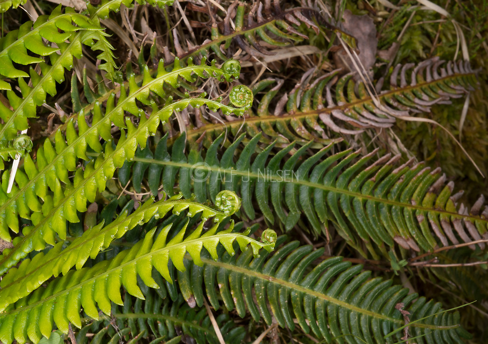 Deer fern (Blechnum spicant) roling out new fertile leaves in eraly summer. Photo from south-western Norway in June.