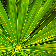 Tropical green palm frond spreads out on Elliott Key, Biscayne National Park, Miami, FL.