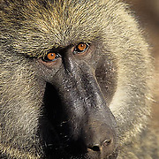 Olive Baboon, (Papio anubis) Portrait of male. Samburu National Reserve, Kenya. Africa.