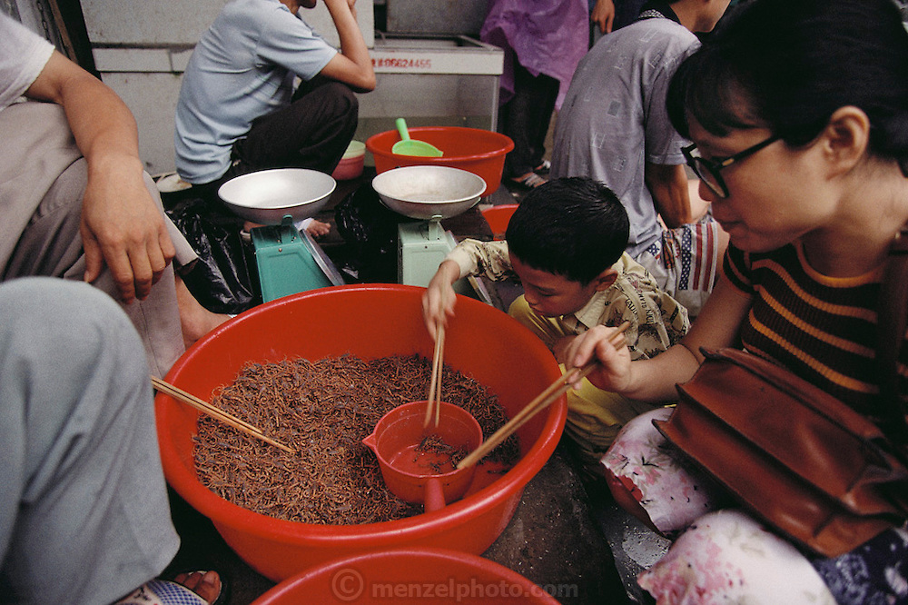 A woman and her son choose scorpions for dinner in a market in Guangzhou, China's. Scorpions in China are useful as both food and traditional Chinese medicine. Scorpions are in such demand that they are raised domestically (ranch style) by Chinese entrepreneurs. They taste like sautéed twigs. Image from the book project Man Eating Bugs: The Art and Science of Eating Insects.